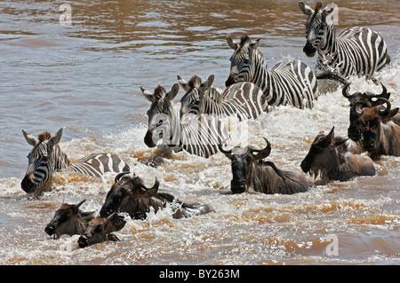 Gnus und Zebras, die Überquerung des Mara Flusses während die jährliche Wanderung der Gnus aus dem Serengeti-Nationalpark in Stockfoto