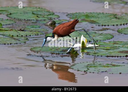 Eine afrikanische Jacana oder Lily-trotter, Fütterung aus den Blättern der Seerose im Yala Sumpf. - Stockfoto
