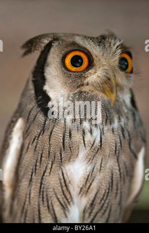 Eine White-faced Zwergohreule-Eule, eine Art kleine Eule mit Ohr-Büschel, die ausgelöst werden, wenn der Vogel gestört - Stockfoto
