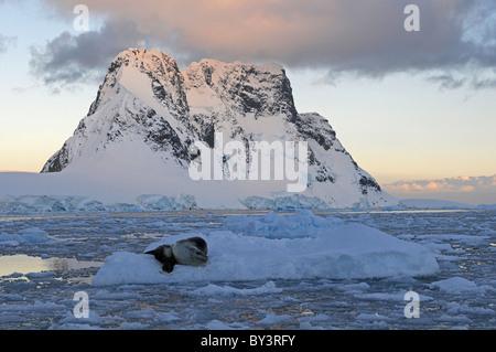 Leopard Seal Mutter und Baby Hydruga Leptonyx liegen auf Packeis im Lemaire-Kanal in der Nähe der antarktischen - Stockfoto