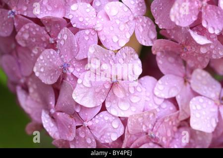 Hortensienblüten - Stockfoto