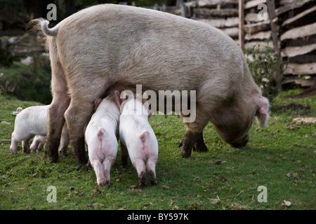 Ferkel füttern von einem Schwein in einem Feld - Stockfoto