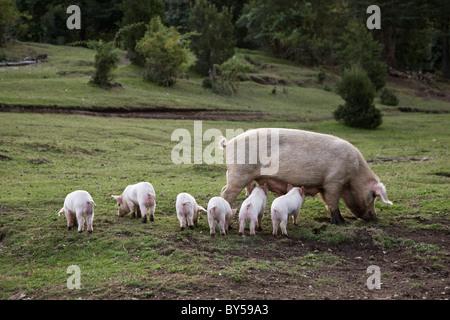 Ein Schwein mit Ferkel in einem Feld - Stockfoto