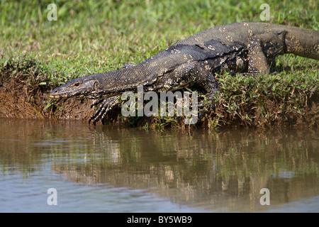 Wasser-Monitor Lizard Varanus Salvator Salvator am Talangama Feuchtgebiet, Sri Lanka. - Stockfoto