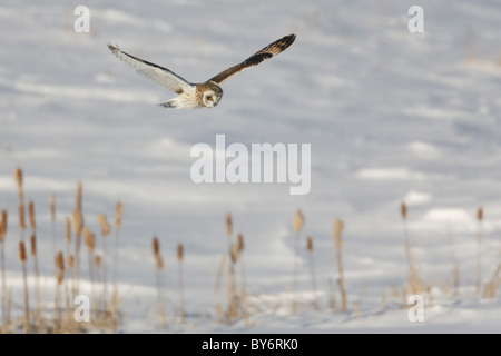 Sumpfohreule (Asio Flammeus) fliegen während der Jagd nach Nahrung - Stockfoto