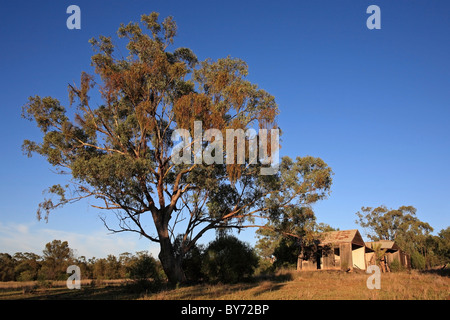 Gum-Baum vor einem alten verfallenen Holz Haus, am frühen Morgenlicht. in der Nähe von Narrabri, NSW, Australien. - Stockfoto