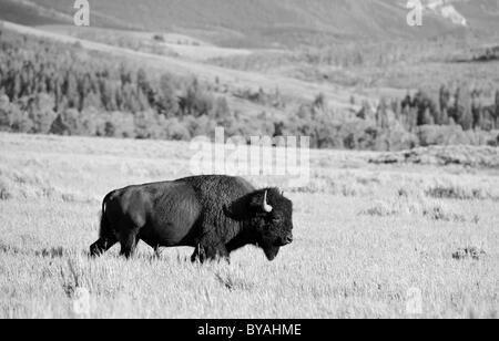 Schwarze und weiße, amerikanische Bisons (Bison Bison) Bull, Büffel, Grand- 593110d7f2