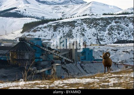 Ein Erwachsener Dickhornschafe zu Fuß entlang einer Kante mit Blick auf eine Mine Kohleverarbeitung Pflanze. - Stockfoto