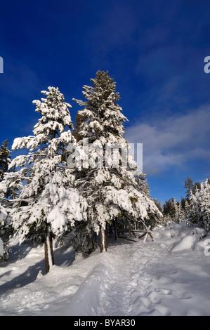 Schneebedeckte Bäume. Yellowstone-Nationalpark, Wyoming, USA. - Stockfoto