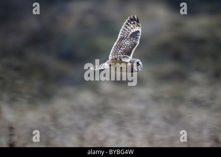Sumpfohreule, Asio Flammeus, einziger Vogel im Flug, Staffordshire, Jamuary 2011 - Stockfoto