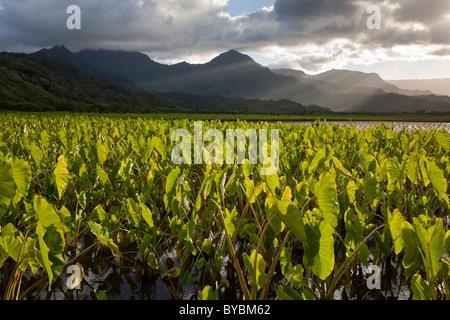 Taro-Blätter und die Berge. Überfluteten Felder von Taro im Hanalei River Valley etwas außerhalb von Hanalei. - Stockfoto