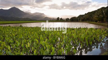 Überfluteten Taro-Felder in der Nähe von Hanalei. Überfluteten Bereichen Taro und junge Sprossen im Hanalei River - Stockfoto