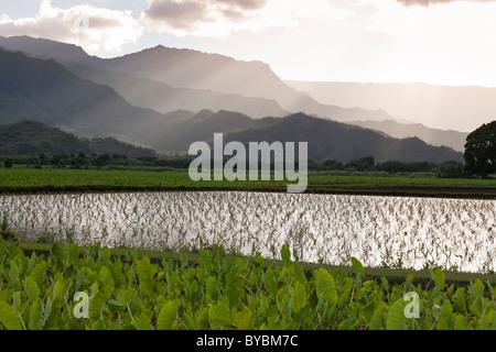 Junge Reisfeld Taro Triebe unterhalb der Berge... Überfluteten Felder von Taro im Hanalei River Valley außerhalb - Stockfoto