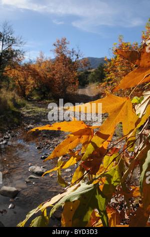 Blätter färben Farben im Herbst in Gardner Canyon, Santa Rita Mountains, Coronado National Forest, Sonora-Wüste, - Stockfoto