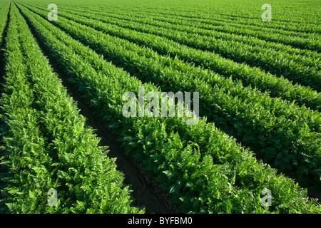 Landwirtschaft - Reihen von gesunden Reifung Karotten / Imperial Valley, Kalifornien, USA. - Stockfoto