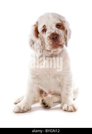 Clumber Spaniel Welpen sitzen studio - Stockfoto
