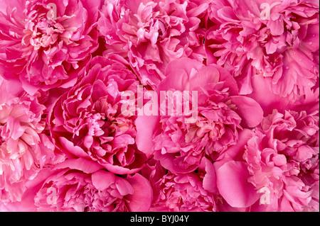 Pfingstrose Blütenköpfchen - Hintergrund - Stockfoto