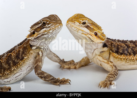 Zwei Bearded Dragons-Pogona Barbata junge - Stockfoto