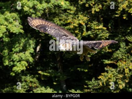 Eurasische Adler-Eule Bubo Bubo, Deutschland Bayerischer Wald - Stockfoto