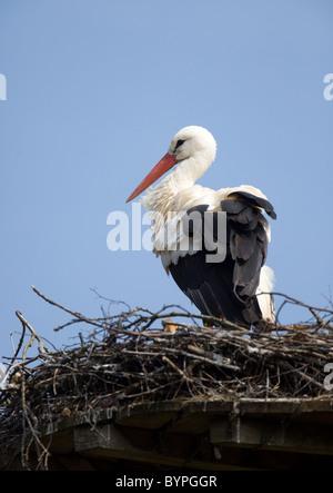 Weißstorch (Ciconia Ciconia), Auf Dem Nest, Nordrhein-Westfalen, Deutschland, Europa - Stockfoto