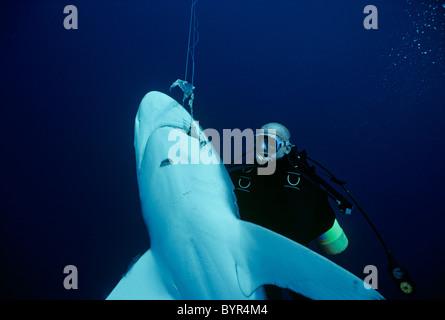 Taucher untersucht Oceanic Schwarzspitzen Hai (Carcharhinus Limbatus) süchtig auf Long-Line, Cocos Island, 320 Meilen - Stockfoto