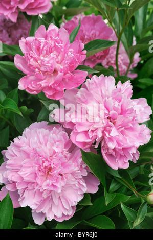 Bouquet von frischen rosa Pfingstrosen - Stockfoto