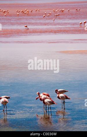 Herde von Flamingos an der Laguna Colorada, Altiplano, Bolivien, Südamerika. - Stockfoto