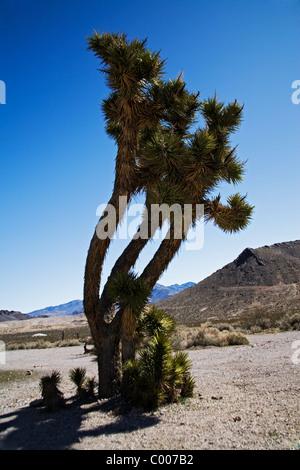 Joshua Tree (Yucca Brevifolia) an Rhyolith Geisterstadt, in der Nähe von Beatty, Mojave-Wüste, Kalifornien, USA - Stockfoto