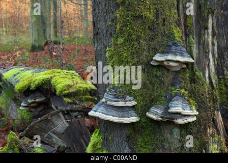 Zunderschwamm, Zündstoff Fomentarius, des Pferdes HUF Pilz, Fruchtkoerper, zusammengenähten Baumstamm, Totholz Stamm - Stockfoto