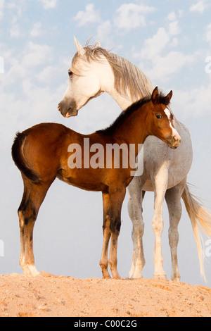 Arabisches Pferd und Fohlen - stehend - Stockfoto