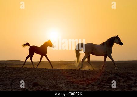 Arabisches Pferd und Fohlen - Sonnenuntergang - Stockfoto
