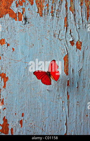 Roter Schmetterling auf alten blauen Wand - Stockfoto