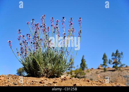 Teide Mauerblümchen (Wegrauke Scoparium) in den Bergen der spanischen Insel Teneriffa auf den Kanarischen Inseln - Stockfoto