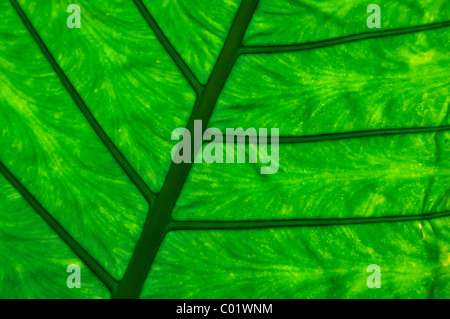 Detailansicht von einem Blatt, Vietnam, Südostasien - Stockfoto