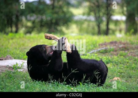 Sun Bear (Helarctos Malayanus), männlichen Erwachsenen, spielen, Asien - Stockfoto