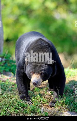 Sun Bear (Helarctos Malayanus), weibliche Erwachsene, asiatisch - Stockfoto
