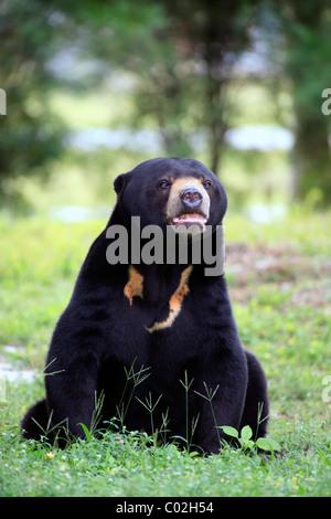 Sun Bear (Helarctos Malayanus), männlichen Erwachsenen, Asien - Stockfoto