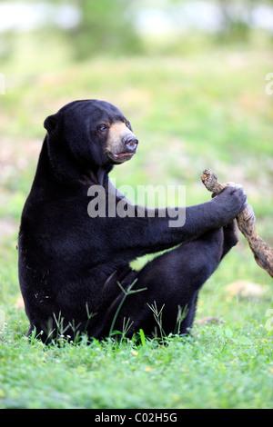 Sun Bear (Helarctos Malayanus), spielen die männlichen Erwachsenen, Asien - Stockfoto