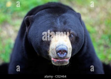 Sun Bear (Helarctos Malayanus), männlichen Erwachsenen, Porträt, Asien - Stockfoto