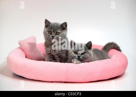 Chartreux, Hauskatze, zwei Kätzchen, 10 Wochen - Stockfoto