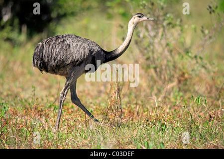 Größere Rhea (Rhea Americana), erwachsenes Weibchen, Pantanal, Brasilien, Südamerika - Stockfoto