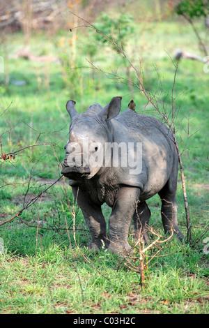 Weißer Rhinoceros oder Square-lippige Rhinoceros (Ceratotherium Simum), jung, Sabisabi Private Game Reserve, Krüger - Stockfoto