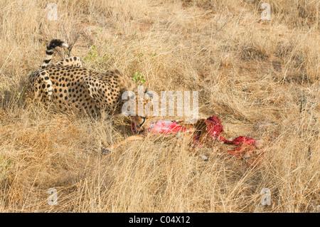 Gepard (Acinonyx Jubatus) Essen frisch zu töten; Samburu National Reserve, Kenia, Afrika - Stockfoto