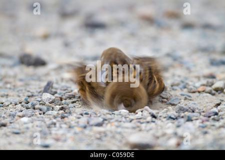 Haussperling; Passer Domesticus; Staub, Baden; Cornwall - Stockfoto