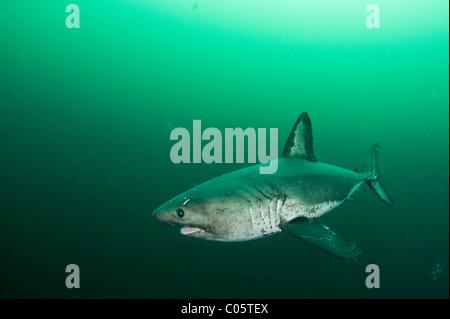 Lachs-Hai, Lamna Ditropis, Prince William Sound, Alaska, Vereinigte Staaten von Amerika - Stockfoto