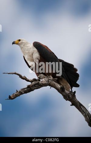 African Fish Eagle thront in Baum, Masai Mara, Kenia - Stockfoto