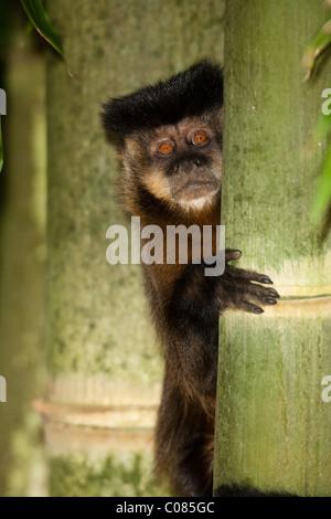 Brauner Kapuziner Affen Kletterbaum, Nationalpark Pantanal, Brasilien - Stockfoto