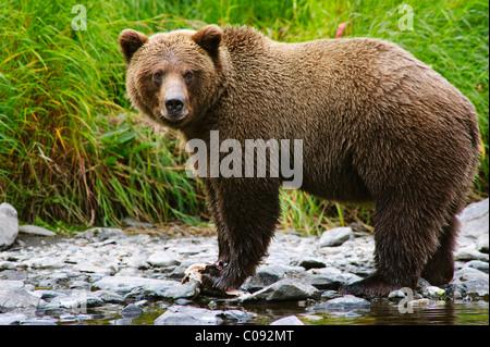 Nahaufnahme von einen Erwachsenen Braunbär Angeln auf Lachs im Russian River, Kenai-Halbinsel, Yunan Alaska, Sommer - Stockfoto