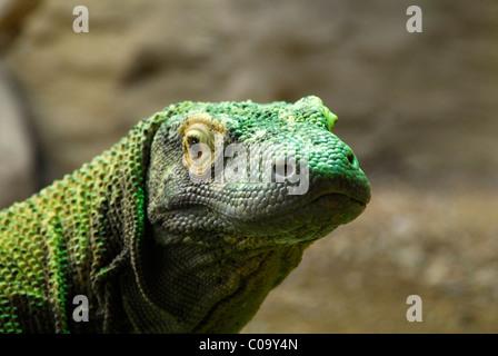 Porträt von Komodo-Waran Eidechse (Varanus Komodoensis) in Gefangenschaft. - Stockfoto