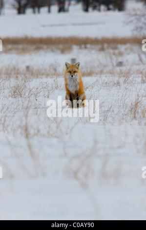Rotfuchs im kanadischen Winter auf der Prärie - Stockfoto